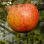 beutelsbach-apfelsorte-rambur